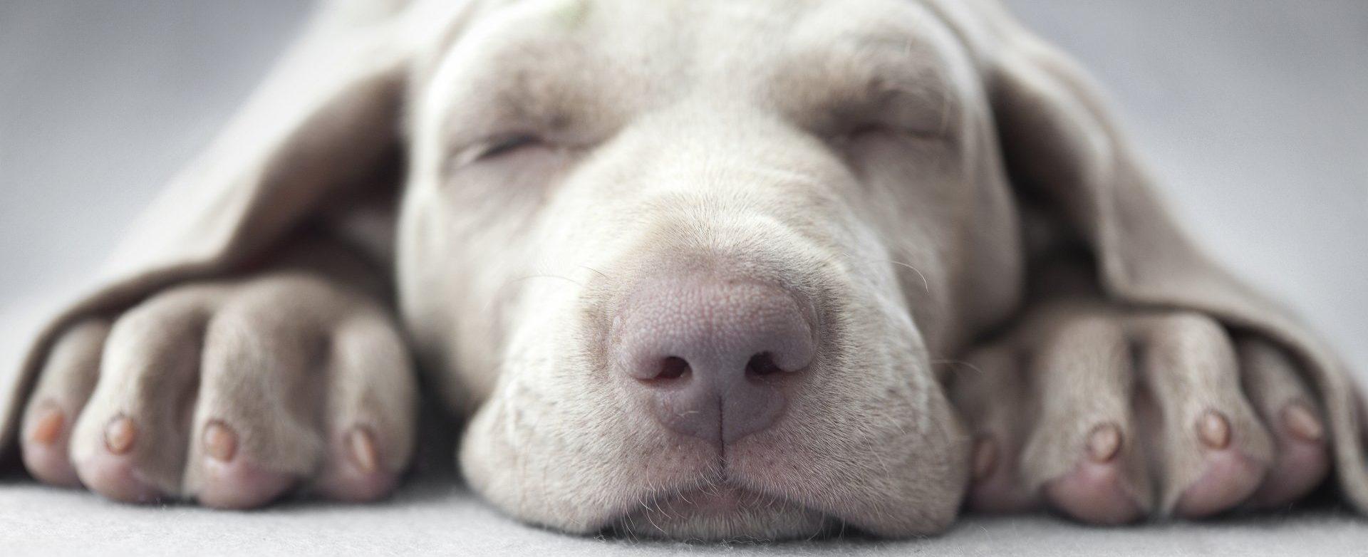 Thornleigh Vet Puppy